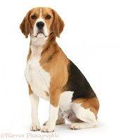 Beagle dog sitting