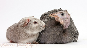 Guineafowl and silver Guinea pig