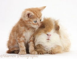 Ginger kitten, 5 weeks old, with shaggy Guinea pig