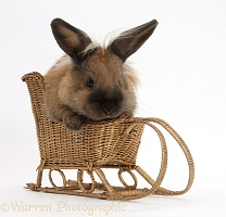 Rabbit playing with a toy wicker sledge