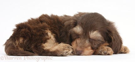 Cute Daxiedoodle puppy sleeping
