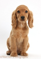 Golden Cocker Spaniel puppy