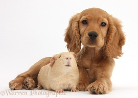 Cute Golden Cocker Spaniel puppy and yellow Guinea pig