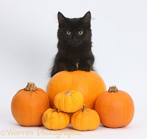 Black Maine Coon kitten and Halloween pumpkins
