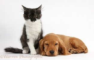 Maine Coon kitten and sleepy Golden Cocker Spaniel pup