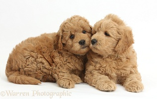 Cute F1b Goldendoodle puppies