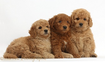 Three cute red F1b Goldendoodle puppies