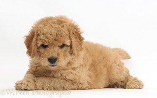 Cute F1b Goldendoodle puppy