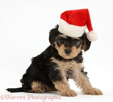 Yorkipoo puppy wearing a Santa hat