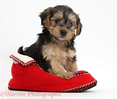 Yorkipoo puppy in a Christmas slipper