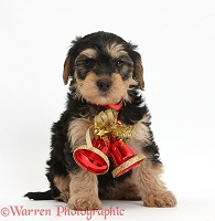 Yorkipoo puppy wearing Christmas bells