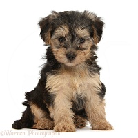 Yorkipoo puppy, 7 weeks old, sitting
