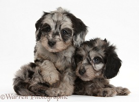Two cute black-and-grey merle Daxiedoodle pups
