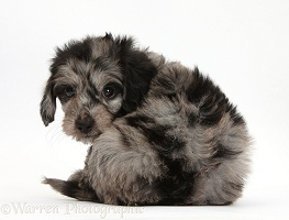 Cute black-and-grey Daxiedoodle puppy looking round