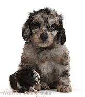 Cute black-and-grey Daxiedoodle puppy and Guinea pig