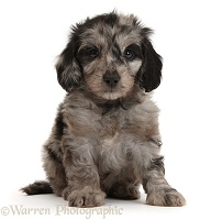 Cute black-and-grey merle Daxiedoodle puppy