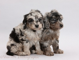 Two black-and-grey merle Daxiedoodle pups