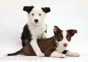 Chocolate and black-and-white Border Collie puppies