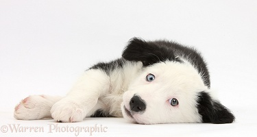 Black-and-white Border Collie puppy lying on his side