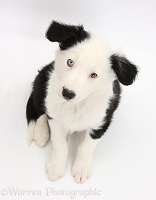 Black-and-white Border Collie puppy sitting looking up