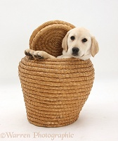 Yellow Labrador Retriever pup in straw basket