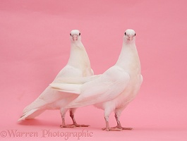 Two white doves on pink background