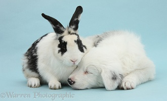 White Border Collie pup and rabbit on blue background