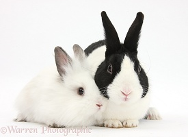 Black Dutch rabbit and white baby bunny