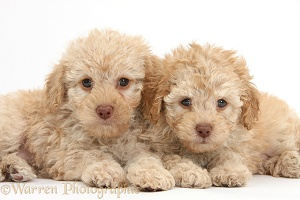 Two toy Labradoodle puppies