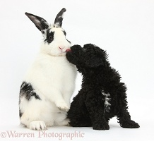 Toy Labradoodle puppy with rabbit