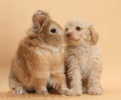 Toy Labradoodle puppy and rabbit