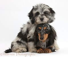 Daxiedoodle pup, and Dachshund