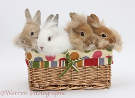 Four Lionhead-cross Bunnies in a basket