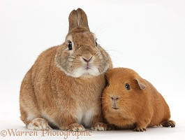Netherland Dwarf-cross rabbit and red Guinea pig