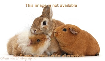 Netherland Dwarf-cross rabbit and Guinea pigs