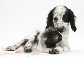 Black-and-white puppy and Guinea pig