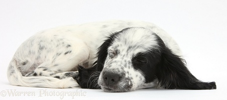 Sleepy black-and-white puppy