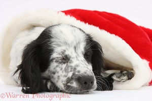 Sleepy black-and-white puppy in a Santa hat