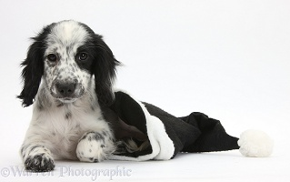 Black-and-white puppy in a Santa hat