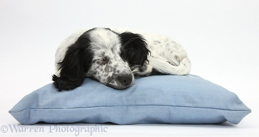 Black-and-white puppy sleeping on a cushion