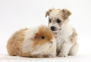 Cute Bichon x Yorkie pup and shaggy Guinea pig
