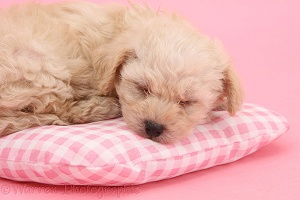 Cute sleeping Bichon x Yorkie pup on pink background