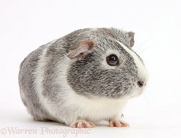 Silver-and-white Guinea pig