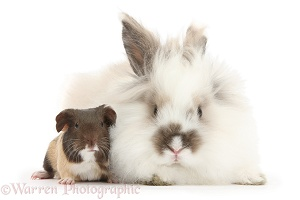 Baby Guinea pig and fluffy rabbit