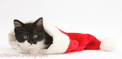 Black-and-white kitten in a Santa hat