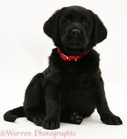 Black Goldador puppy with red collar, sitting