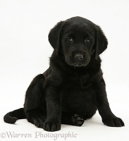 Black Goldador pup, sitting