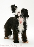 Black-and-white Chinese Crested dog