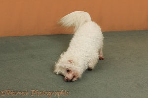 Bichon Frise rubbing on the carpet
