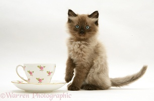 Chocolate Birman-cross kitten with teacup